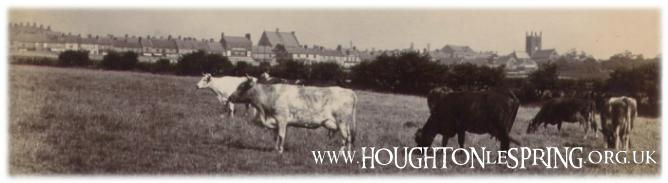 Cows graze on a field with Newbottle Street in the background, 1930s.  This site is now a housing estate!